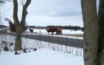 De islandske heste nyder vintervejret